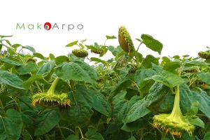 Выращивание подсолнечника как бизнес