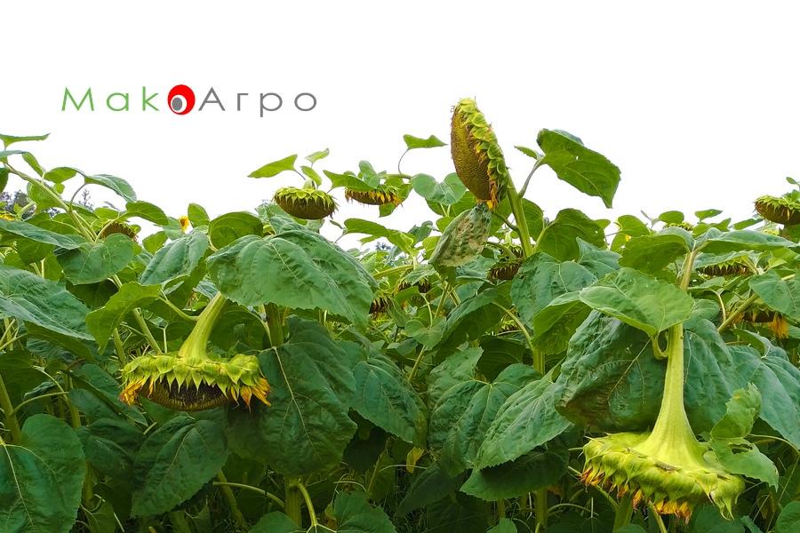 Выращивание подсолнечника как бизнес>