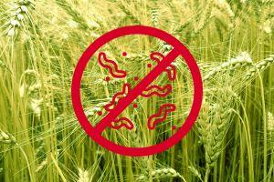 Болезни пшеницы и ячменя