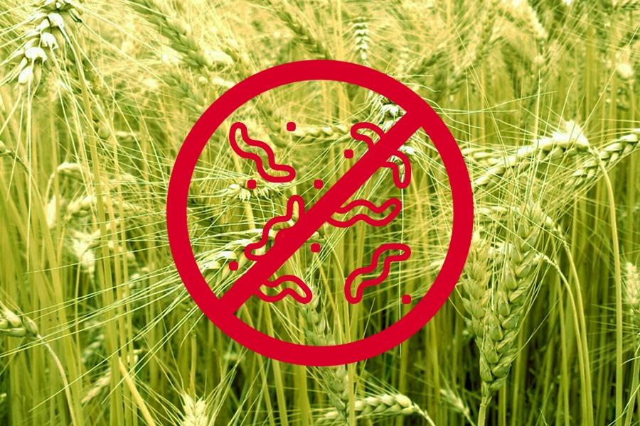 Болезни пшеницы и ячменя>