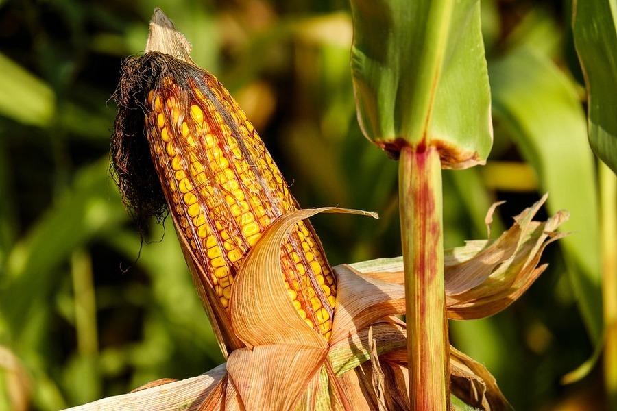 Лучшие гербициды для кукурузы>