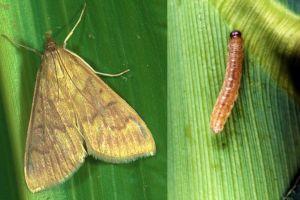 Кукурудзяний стебловий метелик: як боротися