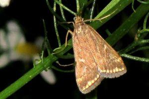 Луговий метелик: боротьба і засоби захисту