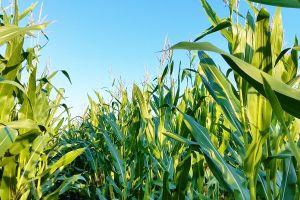 Повышение урожайности кукурузы