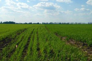 Фитотоксическое последействие гербицидов на агрокультуры