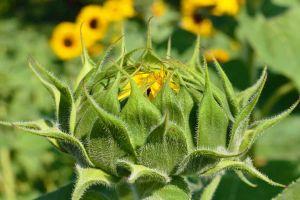 Повышение урожайности подсолнечника
