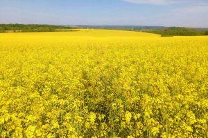 Повышение урожайности озимого и ярового рапса
