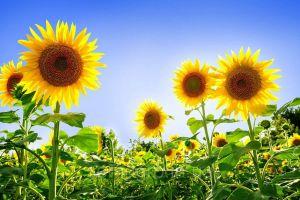 ТОП лучших гибридов подсолнечника на посев 2020